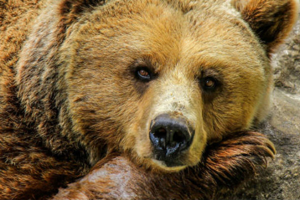 Women want to be a bear next life